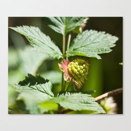 Young Salmonberry Photography Print Canvas Print