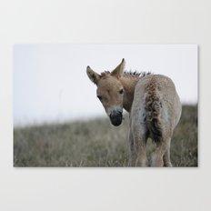 Baby Przewalski's Horse Canvas Print