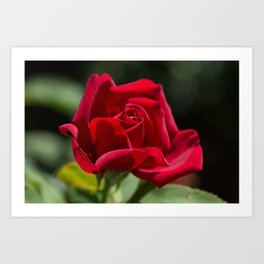 Red Rose Green Background Art Print