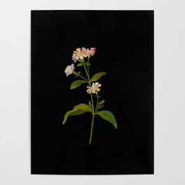 Saponaria Officinalis Mary Delany British Botanical Floral Art Paper Flowers Black Background Poster