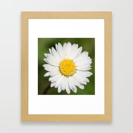Closeup of a Beautiful Yellow and Wild White Daisy flower Framed Art Print