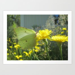 Brimstone butterfly and yellow flower 2 Art Print
