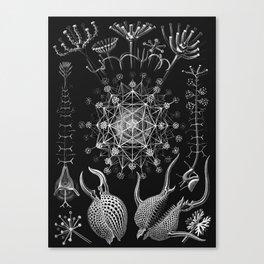 Ernst Haeckel - Phaeodaria Canvas Print