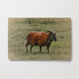 Soay Sheep Metal Print