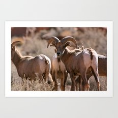 Desert Big Horn Art Print