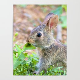 Watercolor Rabbit, Eastern Cottontail 01, Middletown, Maryland Poster