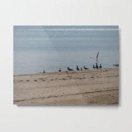 Silver gulls and cockle shells, Frankston, Australia Metal Print