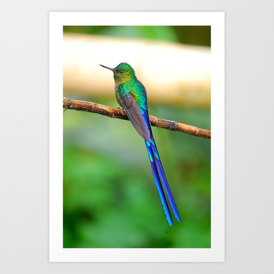 Ecuadorian Hummingbird Art Print
