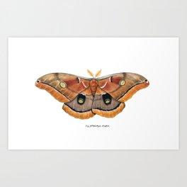 Polyphemus Moth (Antheraea polyphemus) II Art Print