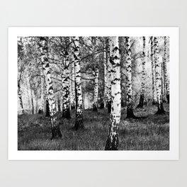 Birches 1 Art Print