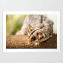 Squirrel Glider Art Print