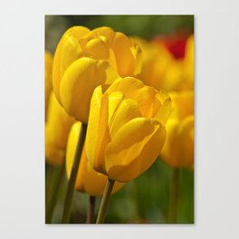 yellow tulips II Canvas Print