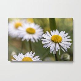 Daisy field Metal Print