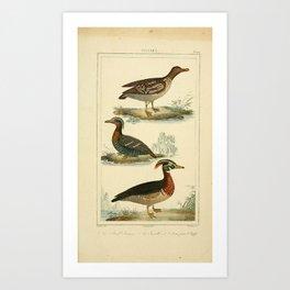 109-Petrel, Sarcelle, Canard Huppe2 Art Print