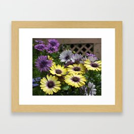 Yellow and Purple African Daisies Framed Art Print