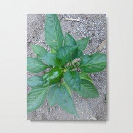 my bell peppers! Metal Print