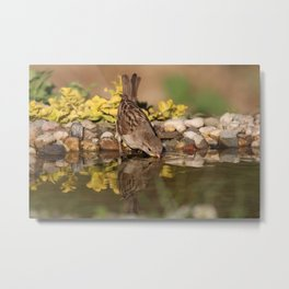 Bird drinking water Metal Print
