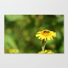 Small bee on yellow fleabane Canvas Print