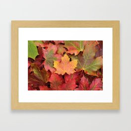 Yellow, green and red maple leaves Framed Art Print