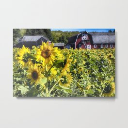 Sunflowers Field witha A New Jersey Barn Metal Print