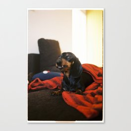 Dachshund on the couch Canvas Print