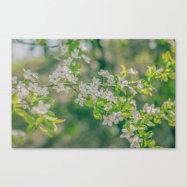 White Cherry Flowers Branch Close Up Spring Canvas Print
