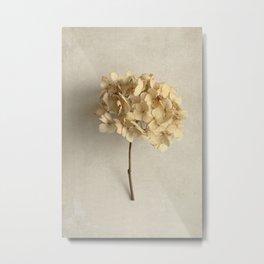 Blonde Dried Hydrangea Metal Print