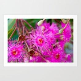 Flowering Gum. 2. The Flower. Australia. Art Print