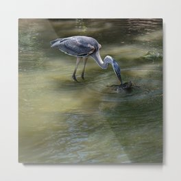 Great Blue Heron Catching Huge Frog - I Metal Print
