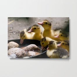 Yellow Muscovy duck ducklings Metal Print