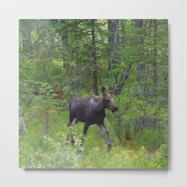 Moose calf emerges from the forest in Jasper National Park Metal Print