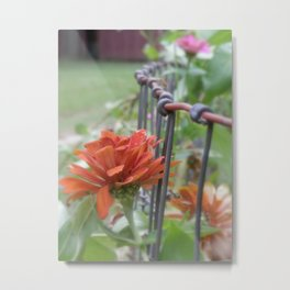 Zinnias on the Garden Fence Metal Print