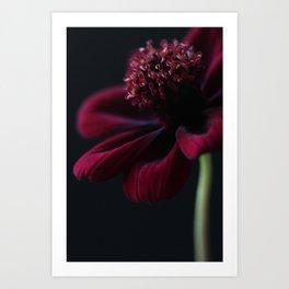 Chocolate Cosmos Flower Art Print