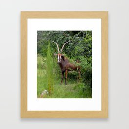 Sable Antelope Peeking Out Framed Art Print