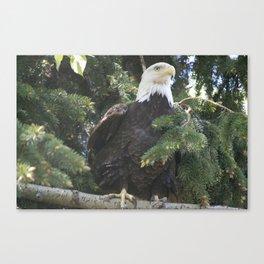 Bald Eagle in Calgary Zoo Canvas Print