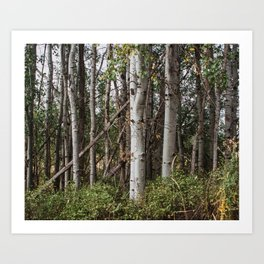 Autumn Birch Grove  Art Print