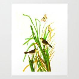 MacGillivray's Finch Art Print