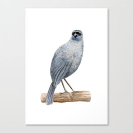 Kokako - a native New Zealand bird 2013 Canvas Print