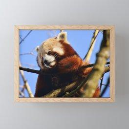 Red Panda In A Tree Framed Mini Art Print