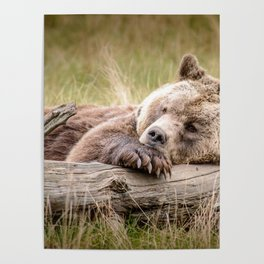 Big Beautiful Grizzly Bear Relaxing In Green Meadow Close Up Ultra HD Poster