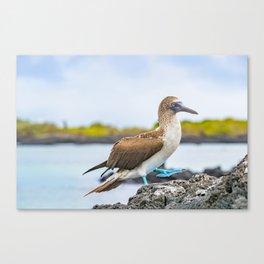 Blue-footed booby Galapagos bird Canvas Print