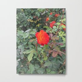 Sunset Rose #1 Metal Print