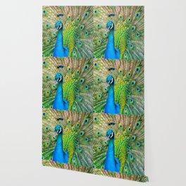 Beautiful Peacock (Color) Wallpaper