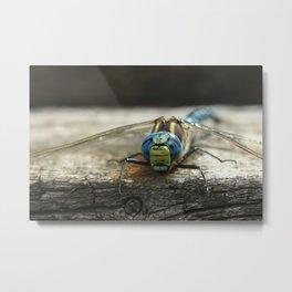Brachytron pratense -  Hairy Dragonfly. Metal Print
