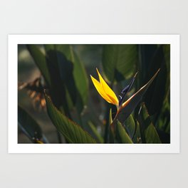 Striking Strelitzia Art Print