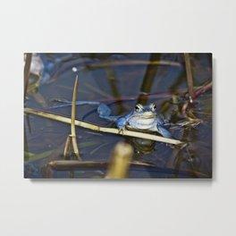 Blue Frogs 06 - Rana arvalis Metal Print