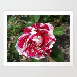 A Red and White Rose Art Print