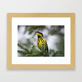 Magnolia Warbler Framed Art Print