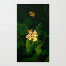 Small Pale Flowers Surrounded by Green Canvas Print