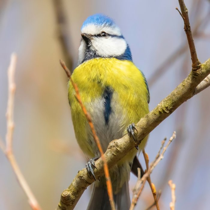 Blue tit on branch, Eurasian blue tit, (Cyanistes caeruleus) Cute little Bird Comforters